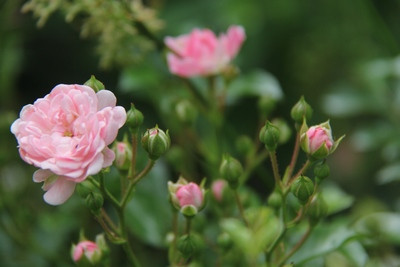 Wenn die Rosen blühen in Achberg ...