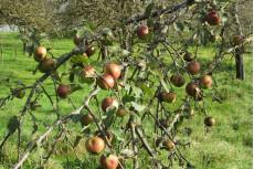 RW 17 Äpfel